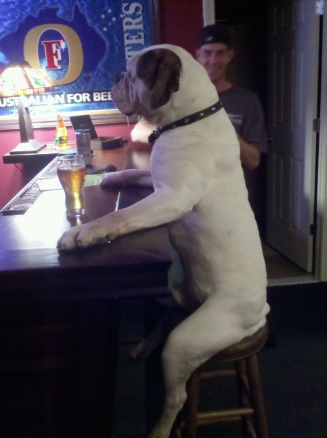 Dog Drinks Beer at Barstool